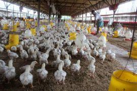 Distan imbau peternak unggas waspadai flu burung