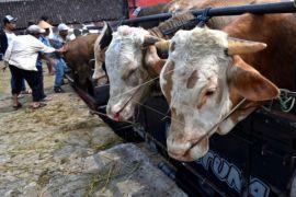 DIY targetkan inseminasi buatan sasar 100.800 sapi