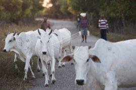 Pemkab berikan bantuan sapi putih dongkrak populasi