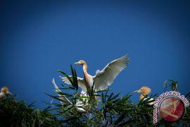Eksotika Burung Kuntul