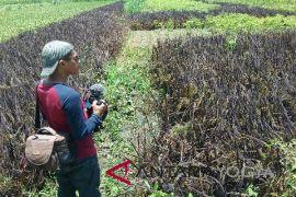 Petani Kulon Progo tanam varietas padi Korea