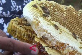 Warga Kulon Progo budi daya tawon klanceng