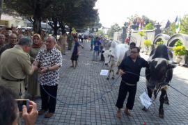 Presiden sumbang sapi kurban berbobot 900 kilogram