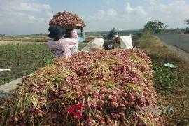 Produksi bawang merah Kulon Progo meningkat
