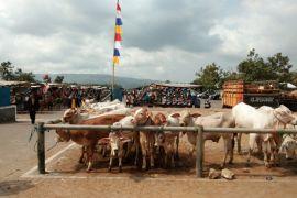 Sasaran sapi indukan wajib bunting di Bantul ditingkatkan