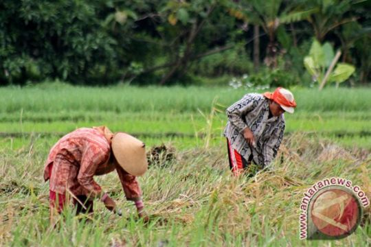 Produksi padi di Gunung Kidul mencapai 300.652 ton