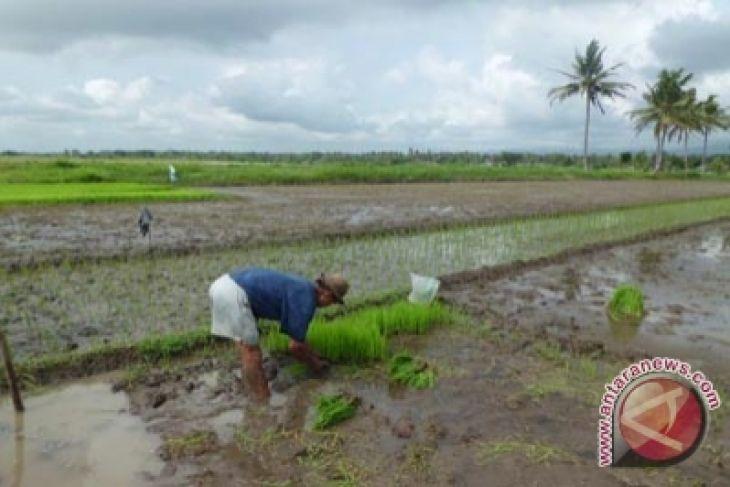 BPTP Yogyakarta rekomendasikan sistem jajar legowo super