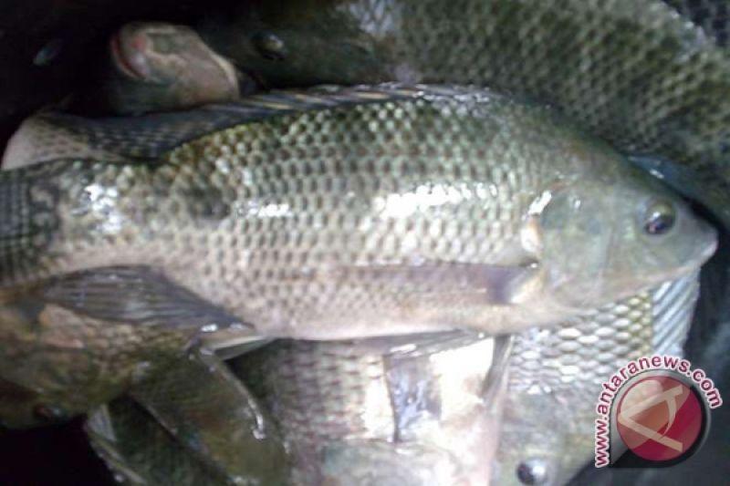 Kkp Mengembangkan Teknolog Bioflok Ikan Nila Antara News