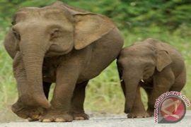 Upaya Pelestarian Si Gajah Kerdil