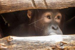 Evakuasi dua orangutan Simpang Hulu