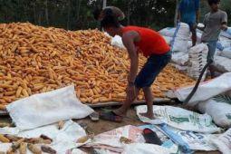 Produksi jagung petani Barito Utara capai 61.627 ton