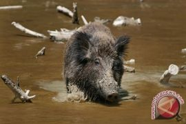 Babi Hutan Rusak 10 Hektar Tanaman Jagung