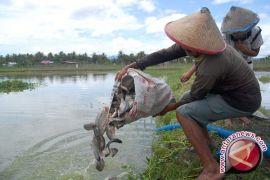 Pemkab Barut Buat Percontohan Budidaya Ikan Air Tawar