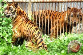 Seekor Macan Tutul Terjebak Perangkap Babi Hutan