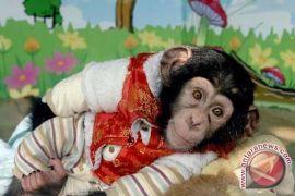 Simpanse Juga Suka Boneka