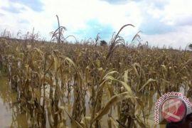 Pola tanam zigzag dongkrak produksi jagung hingga 20 ton/hektare