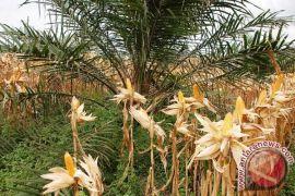 Barut programkan jagung berintegrasi kelapa sawit