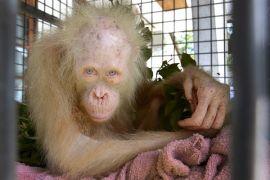 Orangutan Albino Pertama di Kalimantan