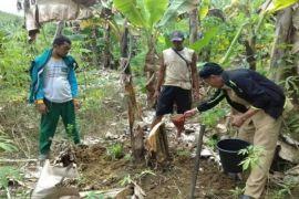 Waduh! 50 Hektare Tanaman Pisang di Seruyan Terserang Layu Fusarium