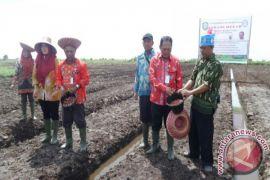 Petani Kotim Tingkatkan Penanaman Bawang Merah