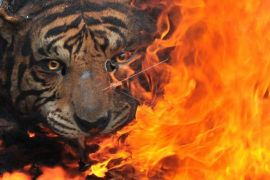 Pemusnahan Barang Bukti Offset Harimau