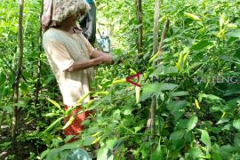 DKPP Seruyan dorong petani kembangkan tanaman cabai