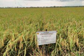 Swasembada padi di Kalteng terkendala benih unggul