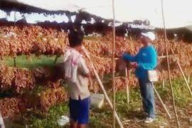 Harga bawang merah di Muara Teweh naik