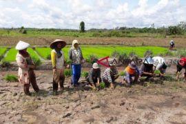 Petani Barito Utara mulai tanam padi