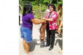 Anggota DPRD Gumas serahkan bantuan ternak babi