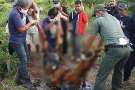Bangkai orangutan di Kalteng ditemukan mati mengapung