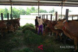 Mau beli hewan kurban? Ini kisaran harganya di Sampit