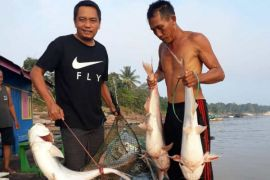 Sungai Barito surut, warga Barut panen ikan patin