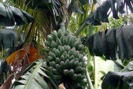Petani Seruyan dianjurkan galakkan budi daya pisang kepok
