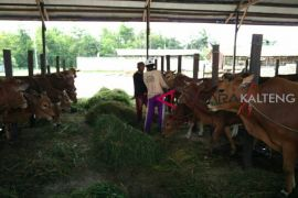 Perusahaan sawit diminta bantu pengembangan peternakan sapi