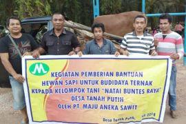 PT Maju Aneka Sawit sumbang empat sapi dukung pengembangan peternakan lokal