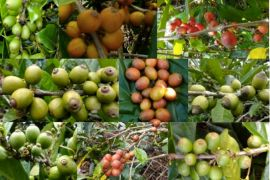 2 kabupaten di Kalteng diprogramkan kembangkan tanaman kopi