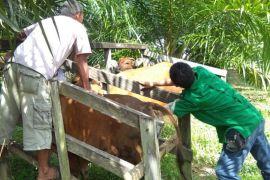 Distan Barito Utara periksa hewan kurban