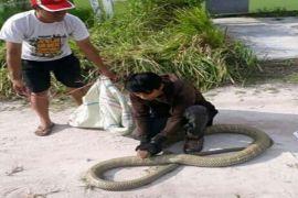 Begini saran BKSDA kepada penakluk king kobra di Sampit