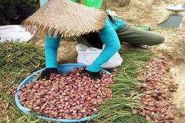 Petani bawang merah di Gumas mulai panen