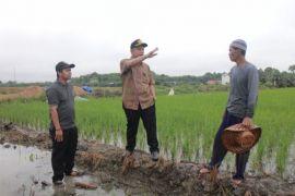 Seruyan kembangkan padi organik di enam kecamatan