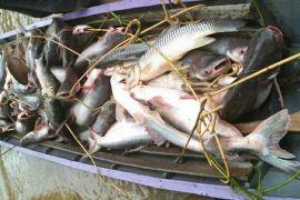 Sungai surut, warga Barito Utara panen ikan besar sebanyak ini