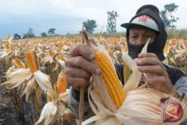 Legislator minta pemprov tidak kembangkan pertanian jagung