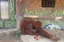 Orangutan Kalimantan melahirkan bayi jantan di Bintan