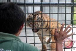 Pemkab Pesisir Barat dukung konservasi harimau