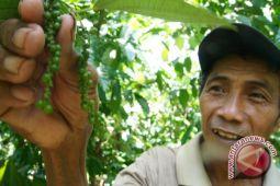 Harga Lada Anjlok,  Petani Akhirnya Tanam Sayuran