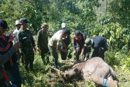 Anak Gajah Liar di Lampung Barat Berhasil Dievakuasi