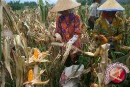 Produksi Jagung Lampung Capai 2,4 juta Ton