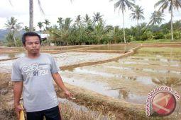 Petani Suoh Kembangkan Beras Sehat