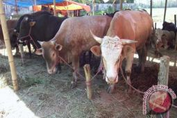 Pemkab Lampung Tengah Salurkan 10 Sapi Kurban